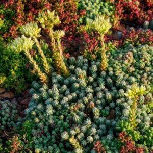 Rozchodník bledožltý - rastliny pre zelené strechy