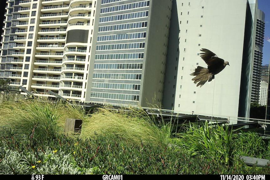Zvýšenie biodiverzity v centre mesta Sydney